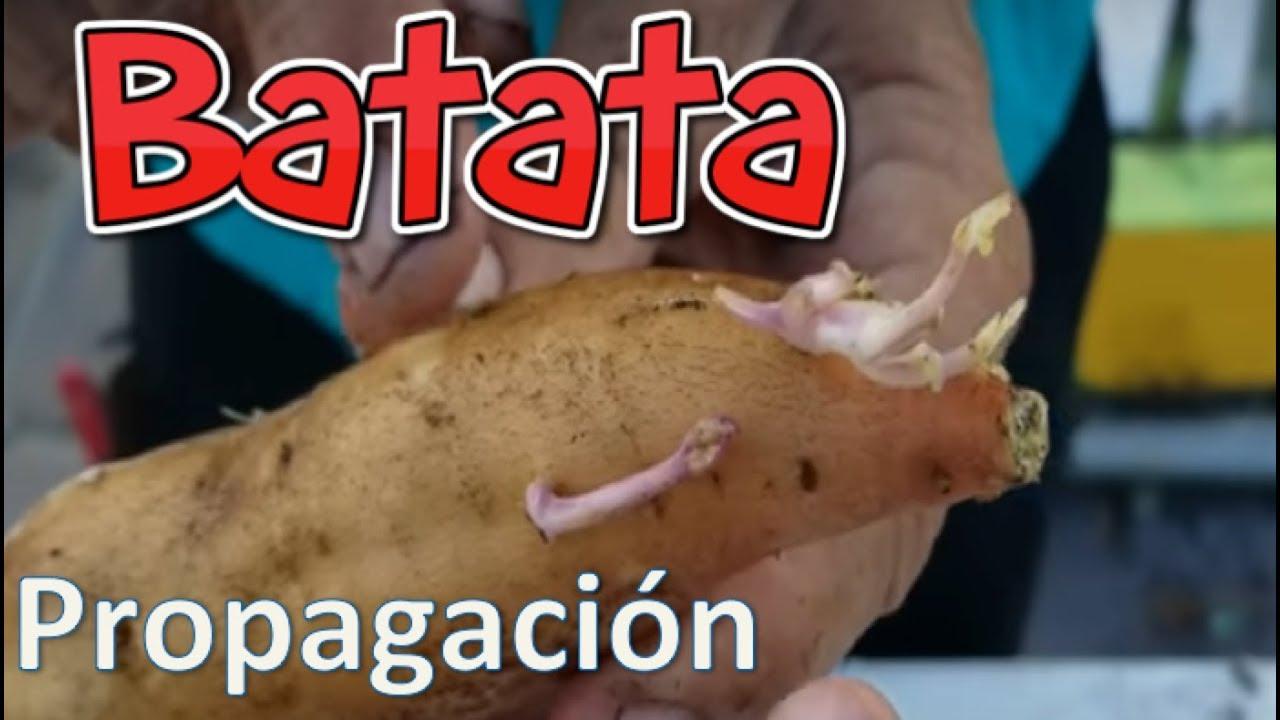 Propagacion de Batatas