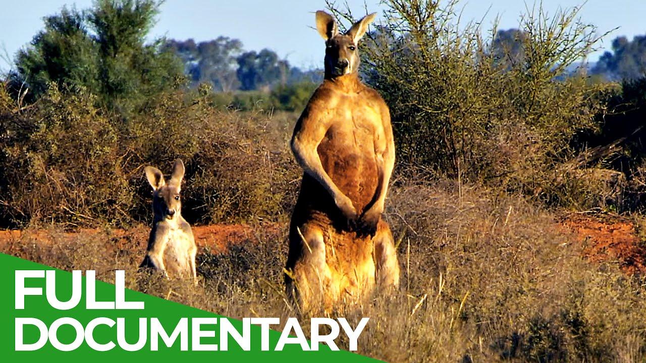 Wildlife Australia: Kangaroos   Free Documentary Nature