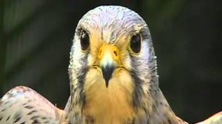 common kestrel Falco tinnunculus artis amsterdam holland