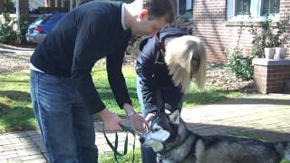 Adopted! Siberian Husky Meets New Family