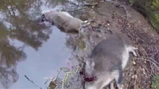 полювання на кабана boar hunting охота на кабана