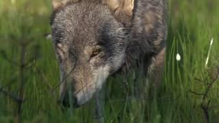 Волки   красивые и удивительные животные