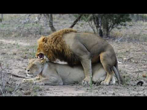 LIONS MATING - Extreme Aggression from the Big Cats