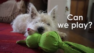 My Favourite Toy! - Hattie The Westie