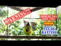 Cucak Ranting Jawa Gacor Isian Tembakan  Mp3 - Mp4 Download