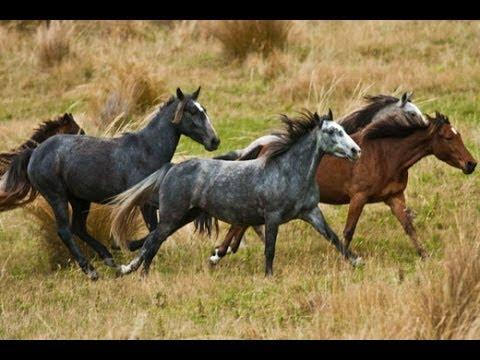 Horse Kaimanawa pictures photos