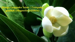 Bunga Cempaka Telur / Cempaka Gondok (Magnolia Liliifera)