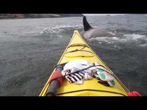 An Orca joins the Swim for the Salish Sea