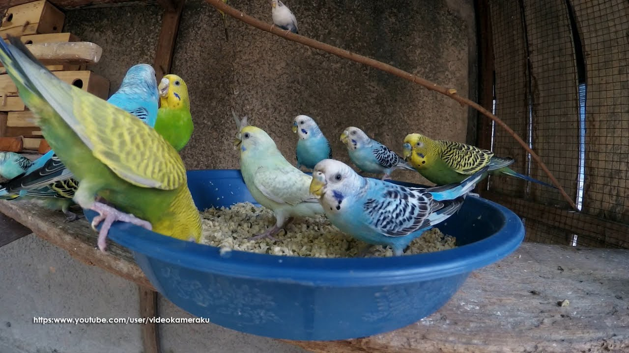 Budgie Mealtime Mung Beans Sprouts