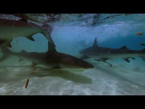 Hammerheads Hunt for Blacktip Sharks