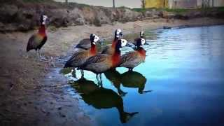 A noisy family of White-faced whistling ducks