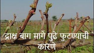 shrihari ghumare   द्राक्ष बाग मागे पुढे फुटण्याची कारणे