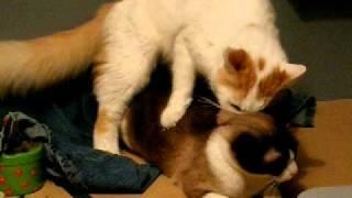 sexe entre chats !