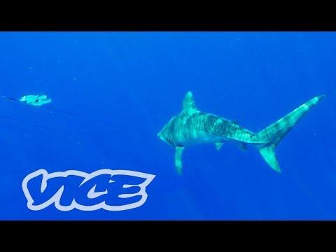 サメと血と汗:沖縄漁師たちの害獣駆除 PART 1 - PEST KINGDOM:SHARK HUNTERS
