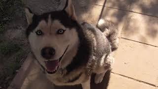 #huskiesterra, #husky, #хаски  Украли воду у Европы и Дегельминтизация собак
