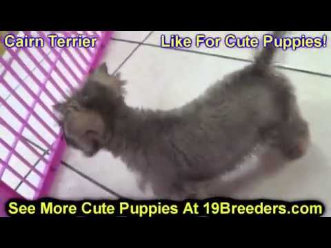 Cairn Terrier, Puppies, Dogs, For Sale, In Columbus, Macon, Georgia, GA, Athens, Augusta