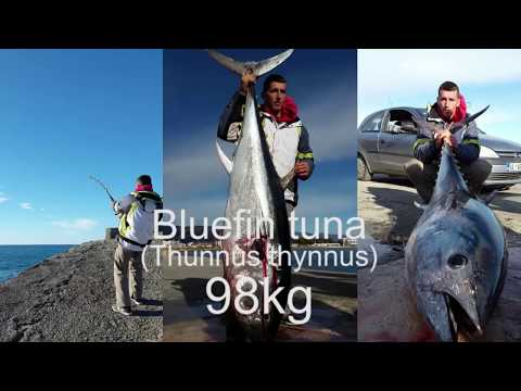 Shore fishing, Bluefin tuna 98kg, Ulcinj 28.12.2016