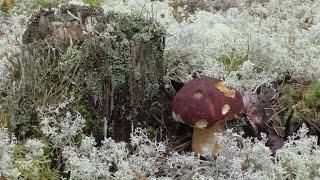 Поездка в лес за белыми грибами.