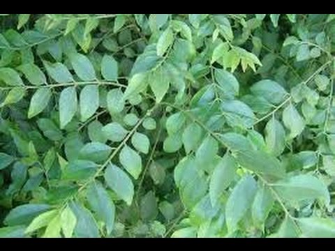 how to grow curry leaf plant
