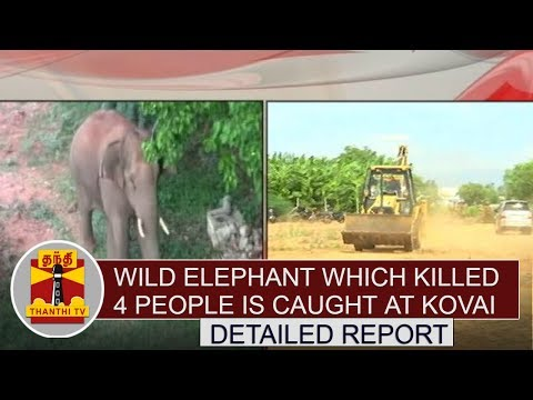 DETAILED REPORT   Wild Elephant which killed 4 people is caught at Kovai    Thanthi TV
