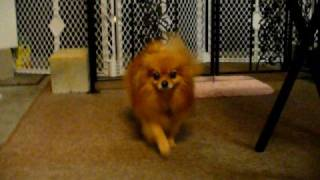 Pomeranians Maximus Gets Closer To Sophie