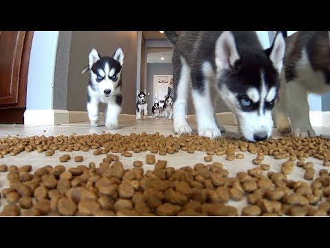 Puppies Feeding   Feeding Frenzy   Puppies Playing