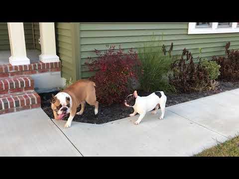 Funny French Bulldog vs Grumpy English Bulldog - Part 2
