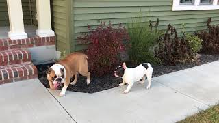 Funny French Bulldog vs Grumpy English Bulldog - Part 2