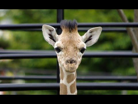 アミメキリンの赤ちゃんスカイ(おびひろ動物)~Somali Giraffe Baby