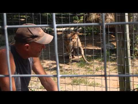 Feeding A Spotted Hyena | Jason Asselin