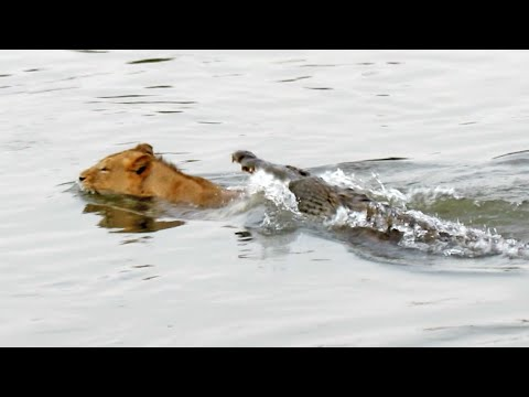 Crocodile Attacks A Male Lion - Latest Wildlife Sightings