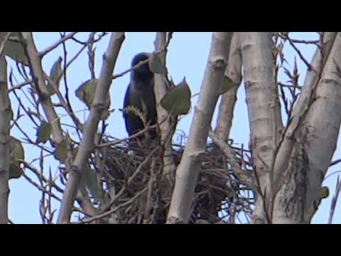 Crow in nest Mingora 8 feb 2015 Corvus is a widely distributed genus of birds in the family Corvidae