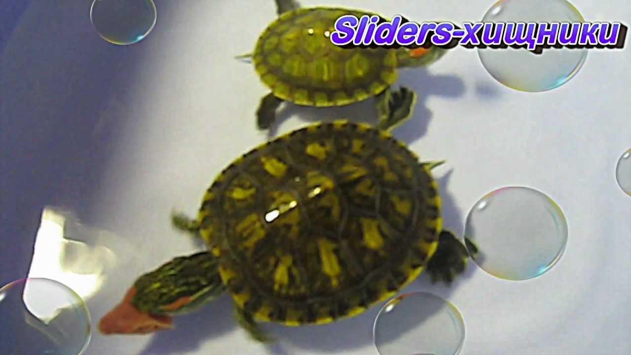 Самые большие красноухие черепахи