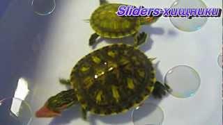 Sliders-хищники. Красноухие черепахи.(Из всех водных черепах в домашних условиях чаще всего встречается красноухая черепаха. Намного реже -- боло..., 2012-12-31T01:04:59.000Z)