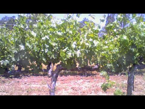 Grapevine growing time-lapse video: budbreak through grape veraison