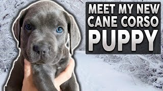 HOW TO CHOOSE THE BEST PUPPY! How I Chose My Cane Corso Puppy!