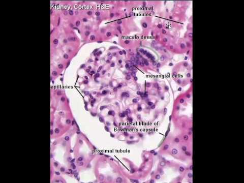 Proximal and distal convoluted tubules - YouTube
