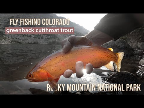 ROCKY MOUNTAIN NATIONAL PARK FLY FISHING: Catching Greenback Cutthroat Trout In Wild Basin, RMNP