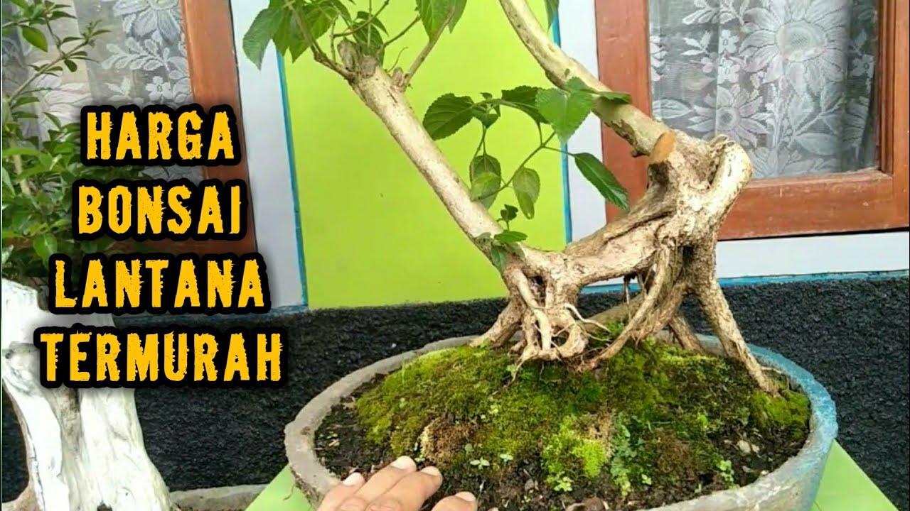 Download cek harga bonsai lantana