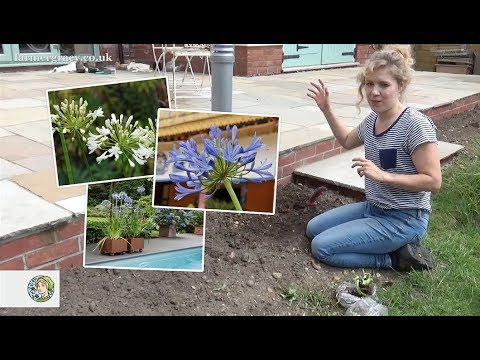 How To Plant Agapanthus Bare Roots Farmergracy Co Uk Youtube