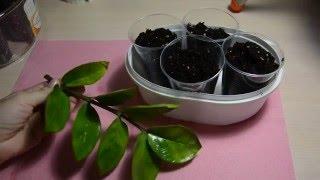 видео Замиокулькас: уход в домашних условиях, размножение, пересадка