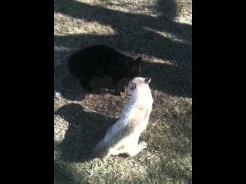 Download Our two tomcats fighting