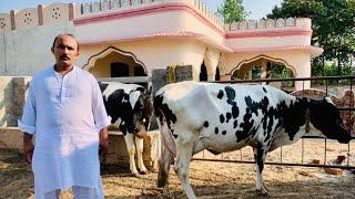 Haji Arshad Saalam Bhalwal | 5 Australian freasian cows | Best cows best rate