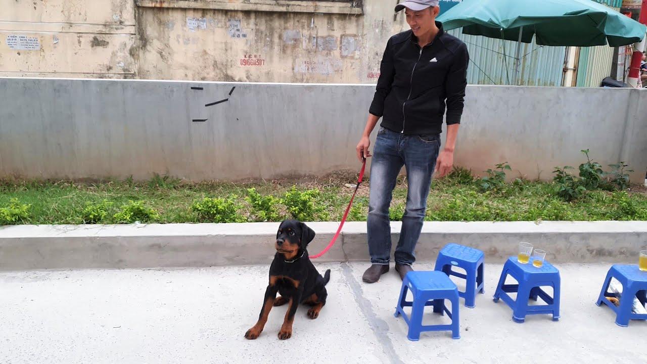 Từ Thanh Hóa ra Gervi Hà Nội mua chó|Limit có gia đình yêu thương
