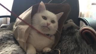 Белая кошка Тося играет в пакете. Смотреть всем.