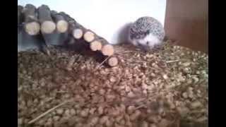 polowanie jeża na świerszcze - hedgehog's hunting