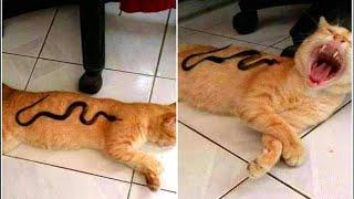 「귀여운 고양이」웃지 않으려 노력하십시오   가장 웃긴 고양이 영화 😸