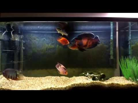 Red Tiger Oscar, Red Mammon, Pink Tail Chalceus, Redhead Severum Xiaomi Yi