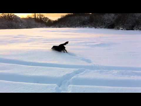 Flat coated retriever in the snow