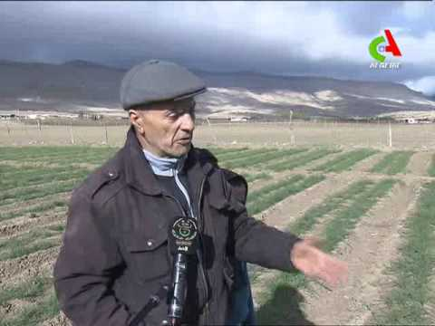 Culture de safran a khenchela algerie
